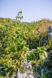 Sickern die Affeblume (Mimulus-guttatus) blühend auf den Ufern eines Nebenflusses, Nordtafelberg-ökologische Reserve, Oroville du lizenzfreie stockfotografie
