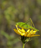 Sickle-bearing bush-cricket Stock Image