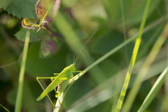 Sickle-bearing Bush Cricket Royalty Free Stock Photos