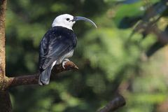 Sickle-billed vanga Royalty Free Stock Images
