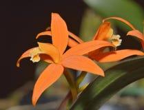 Sickle-leaf Laelia Orchid Stock Photos