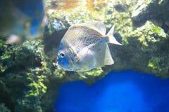 Sicklefish manchado Imagens de Stock