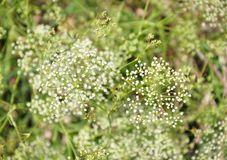 Sickleweed (Falcaria vulgaris) obrazy stock
