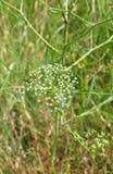 Sickleweed (Falcaria vulgaris) zdjęcie stock