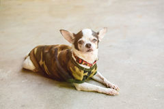 Sickness Chihuahua. With gums in eyes and waring soldier cloth royalty free stock image