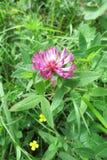 Sicksackväxt av släktet Trifolium (Trifoliummedlet) Royaltyfri Bild