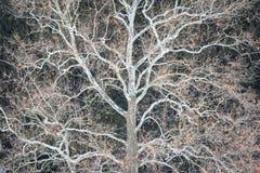 sicomoro di inverno Fotografia Stock Libera da Diritti