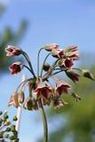 Siculum del allium, también conocido como lirio siciliano de la miel Fotografía de archivo
