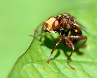 Sicus ferrugineus conopid fly. Head of fly in family Conopidae, an endoparasite of insects, notably aculeate hymenoptera Stock Photography