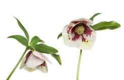 Hellibore blomma arkivfoton