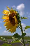 Sida av jätte- solrosor arkivbild