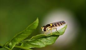 sida av lösa klipska dipterasyrphidae Royaltyfri Foto