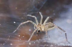 Sida av Tan Spider på spindelnät arkivfoto