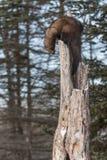 Sida för Fisher Martes pennantiblickar ner av trädet Royaltyfri Foto