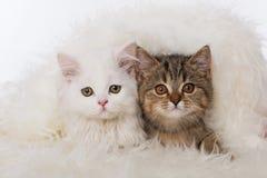 Sida för två kattunge - förbi - sida royaltyfri bild