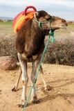 Sida-framsida av en kamel Royaltyfri Fotografi
