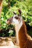 Sida-sikt av vit lama för en brunt och arkivbilder