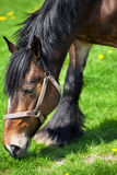 Sida som är nära upp av en brun häst fotografering för bildbyråer