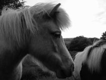 Sida som skjutas av ponny Royaltyfri Fotografi