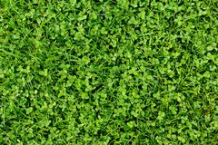 Sidabakgrund för grönt gräs och treklöver Arkivbild