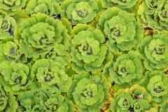 sidamodell av den gröna vattenormbunken i ett trädgårds- dammbruk för baksida Royaltyfri Bild