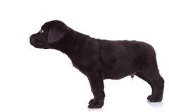 Valpen för den Labrador retrieveren förföljer att sniffa något arkivfoton