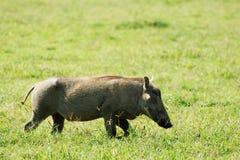 Wild pig i Afrika Royaltyfri Foto