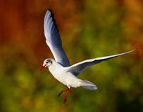 Seagullfågel i flyg Arkivfoto