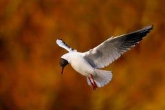 Seagullfågel i flyg Arkivbilder