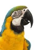 Sidan beskådar närbilden av enguling Macaw, Araararaunaen, 30 gammala år Fotografering för Bildbyråer