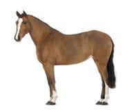 Sidan beskådar av en kvinnlig Andalusian, 3 gammala år, också som är bekant som den rena spanska hästen eller PRE Royaltyfria Foton