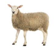 Sidan beskådar av ett får som ser kameran Arkivbild