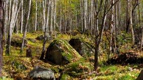Sidanedgången i höstskogen lager videofilmer