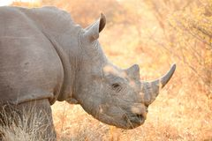 Side angle close up of the head of an African White Rhino in a South African game reserve. On an early morning safari game drive Stock Photo