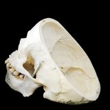 Side back of human skull Stock Image