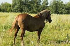 An attached horse standing on a summer meadow Royalty Free Stock Image