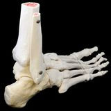 Side back view of foot skeleton. A highly detailed articulated model of a human foot, with all the bones represented, from the toes to just past the ankle. Side royalty free stock photography