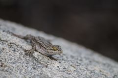 Side Blotched Lizard. A Common Side Blotched Lizard in the Mojave Desert. Joshua Tree National Park royalty free stock image