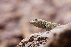 Side-Blotched Lizard Head Stock Images