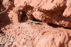 Side blotched lizard in between the red rocks, in lake mead nati Royalty Free Stock Images
