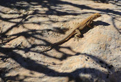 Side-blotched lizard Royalty Free Stock Image