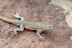 Side-blotched Lizard on a Rock Royalty Free Stock Photo