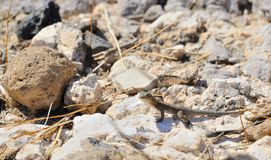Side-Blotched Lizard in the Sonoran Desert. View of orange-throated, male, side-blotched lizard, standing on rocks in the Sonoran Desert, Arizona, United States Royalty Free Stock Photography