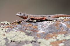 Side-blotched Lizard Sunning. A Side-blotched Lizard sunning on a rock in Eastern Washington royalty free stock image