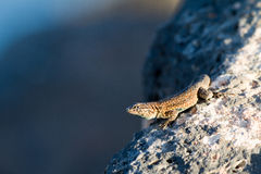 Side-blotched Lizard, Uta stansburiana Stock Photo