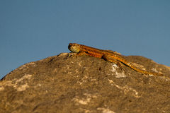 Side-blotched Lizard, Uta stansburiana Royalty Free Stock Images