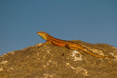 Side-blotched Lizard, Uta stansburiana Stock Image