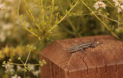 Side blotched lizard Stock Image
