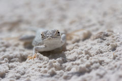 Side-blotched Lizard in the White Sands of New Mexico. Female Side-blotched Lizard (Uta stansburiana) in the White Sands National Monument of New Mexico, USA stock image