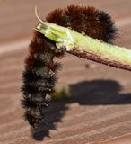Woolly Bear Caterpillar or Isabella Tiger Moth, crawling on a stem. The side and bottom view of a Woolly Bear Caterpillar crawling on a small green stem.  This Royalty Free Stock Photo